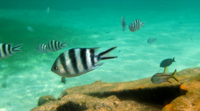 Zebra Fish by rumpleteaser, on Flickr